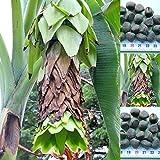Musa Ensete glaucum - 10 semillas - Snow banana - ¡resistente a las heladas!