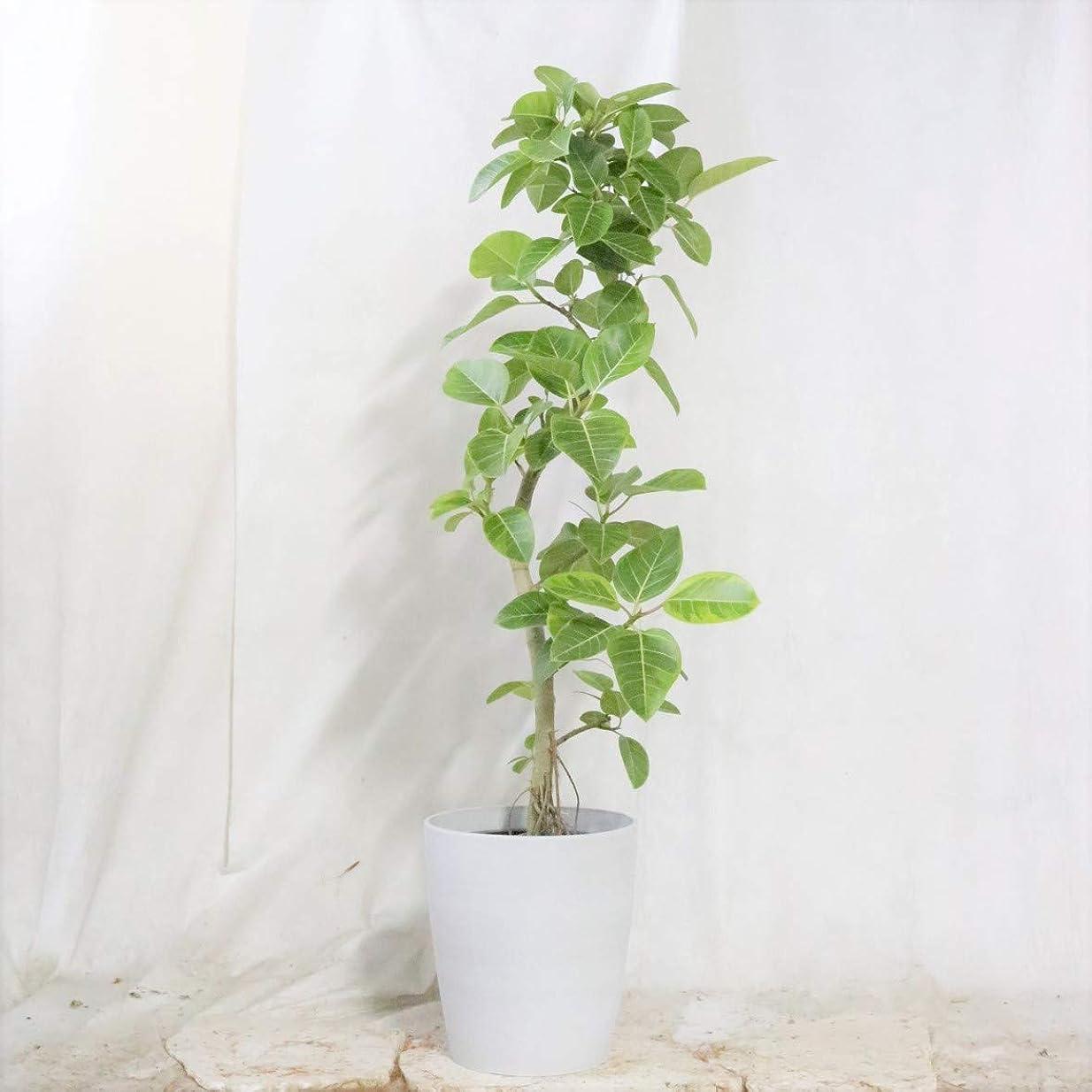 チャンピオン思いつく有料アルテシマ ホワイト樹脂 鉢カバー 10号 160㎝程度 【観葉植物】【室内向け】【沖縄観葉】
