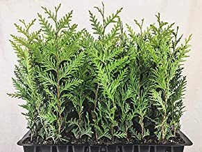 Thuja Arborvitae Green Giant Qty 30 Live Trees Evergreen Privacy