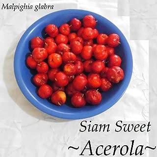 Acerola Malpighia Emarginata Barbados Cherry Siam Sweet Live Pot'd Small Plant HD7