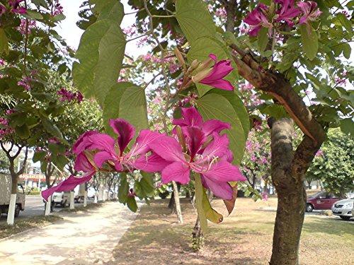 10 Semillas de orquídea púrpura Bauhinia Árbol leguminosas ~ jardín de Chris
