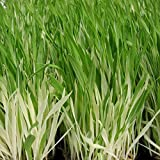 Variegated Cat Grass Seeds - Packet of 20 Seeds