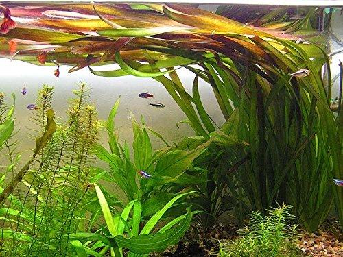 3 Bunde Vallisnerien, Vallisneria gigantea Rubra / Riesenvallisneria Rubra, Aquariumpflanze