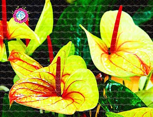 , Les graines de 50pcs Anthurium, graines en pot, graines de fleurs, la variété complète, le taux de 95% en herbe, (couleurs mélangées) 12