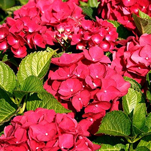 1 X Hydrangea MACROPHYLLA 'Teller RED' DECIDUOUS Shrub Hardy Plant in Pot