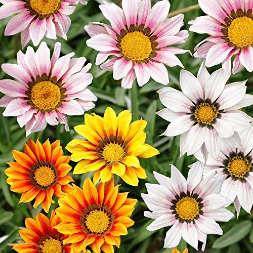 trésor Fleur, gazania Mélange graines - gazania Rigens