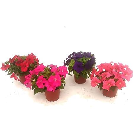 Kit 4 Petunias Plantas Naturales en Maceta 13cm Petunia Natural Planta Flor Colores Surtidos