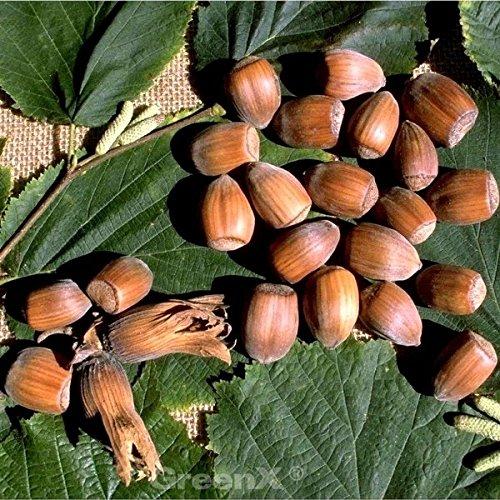 Haselnuß Webbs Preisnuss 60-80cm - Corylus avellana