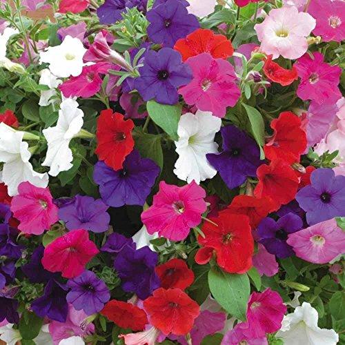 Pétunia Mix 250 graines Grand Outstanding Dazzling Mix coloré Bouquet de fleurs