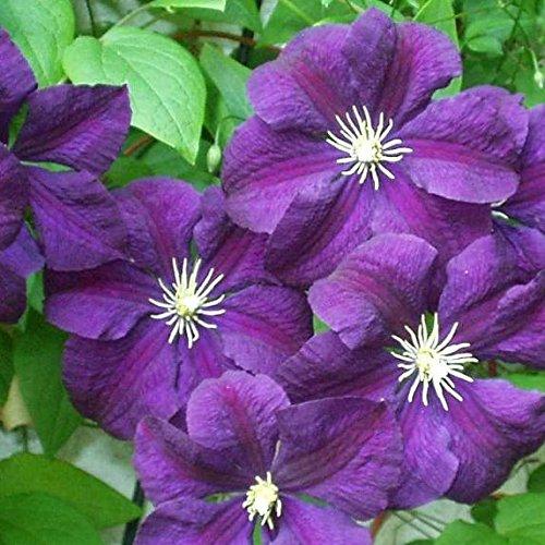 3 Clematis Etoile Violette (Waldrebe) Kletterpflanzen: 3 kaufen/2 bezahlen - 1,5 Liter Topf - Dunkelviolett & Winterhart | ClematisOnline Kletterpflanzen & Blumen