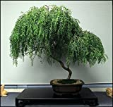Bonsai Dwarf Weeping Willow Tree - Large Thick Truck Cutting - Ready to Plant - Get a Rare Dwarf Bonsai Tree Very Fast