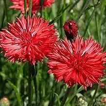 Bachelor Button Tall Red Cornflower Flower Seeds- 200 Premium Heirloom Seeds, Bright & Beautiful! - ON Sale! - Centaurea Cyanus - (Isla's Garden Seeds),80-90% Germination Rates, Highest Quality!