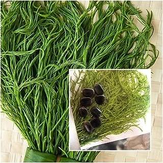 Senegalia pennata 10 Seeds, Climbing Wattle, Acacia, Cha-om, Tropical Seeds Rare