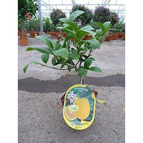 CITRONNIER MEYER/Citrus meyeri BIO