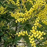 Plant World Seeds - Acacia Dealbata Seeds