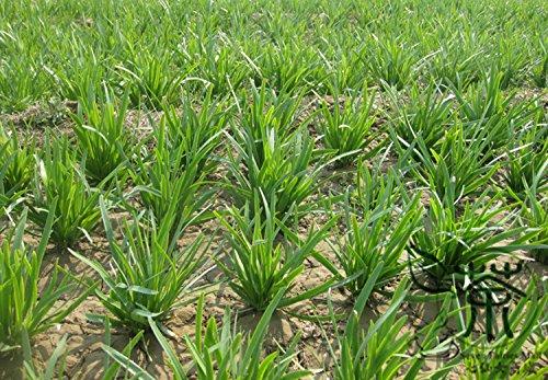 Ampliamente cultivada Semillas Allium tuberosum Para 2000pcs de la siembra, cebolletas de ajo semillas vegetales, semillas chinas orientales ajo puerro