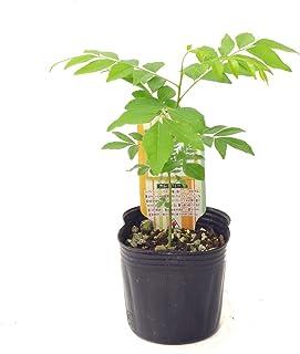(株)赤塚植物園 ④ カレーの木(カレーリーフ) 3.5号苗