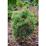 Pinus cembra - Zirbelkiefer - Turrach 3-10 - 15 cm - 1 Stk