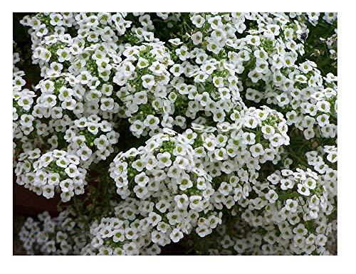 viele weiße süße Alyssumblüten