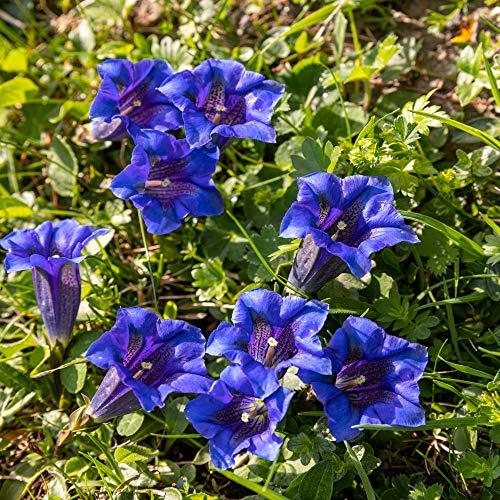 De haute qualité bonsaïs 100 Pcs Largeleaf gentiane Graines vivace Fleur bleue Graine Blooming Plantes Diy jardin Ménage 10