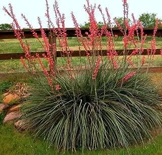 Best hesperaloe parviflora texas Reviews