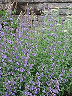 Perennial Farm Marketplace Nepeta f. 'Walker's Low' ((Catmint) Perennial, 1 Quart', Deep Lavender Flowers on Gray-Green Leaves