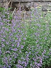 Perennial Farm Marketplace Nepeta f. 'Walker's Low' ((Catmint) Perennial, 1 Quart', Deep Lavender Flowers on Gray-Green Leaves