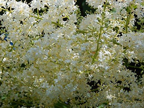 Japanische Flieder 10 Samen - Syringa Reticulata