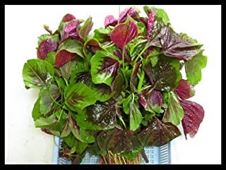 500+ Non GMO Heirloom Organic Chinese Red Strip Spinach Amaranth Seeds