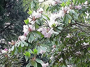 200 Fortune Rhododendron Fortunei Shrub Rose Pink Mauve White Flower Seeds TkLucky72