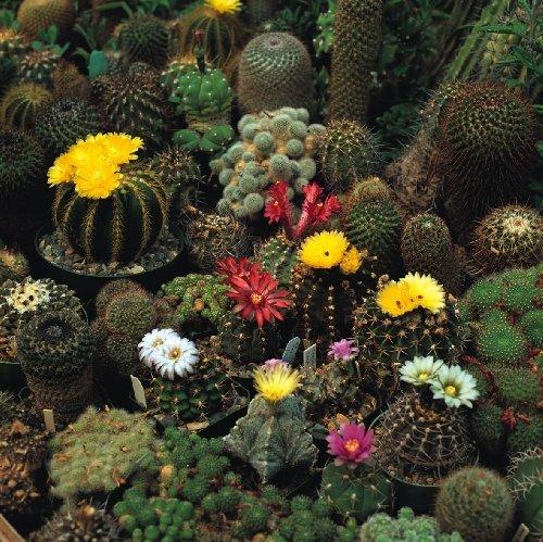 Just Seed???Couronne de fleur???Cactus???M?lange 100?graines???Derri?re