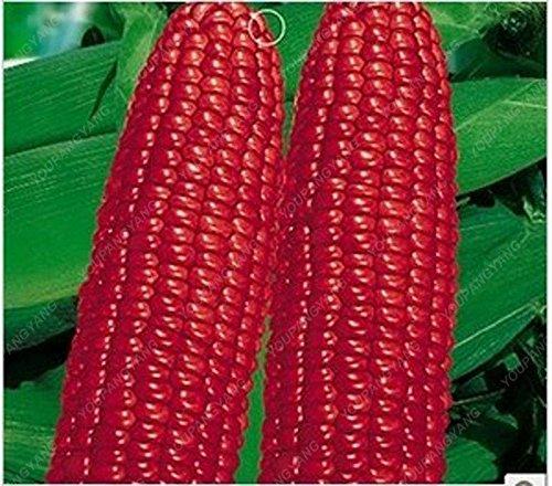 20pcs / sac de maïs cireux rouge Graines Fruits et légumes comestibles graines de bonsaï pour balcon et jardin Plantation d'Noir