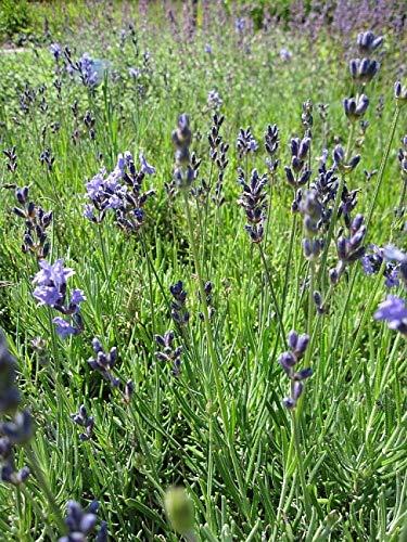 Garten-Lavendel Munstead - Lavandula angustifolia Munstead Preis nach Stückzahl Einzelpreis