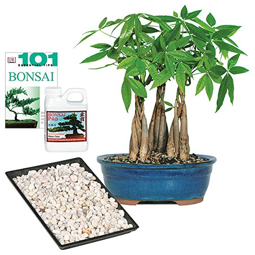 Brussel's Live Money Tree Grove Indoor Bonsai - Complete Gift Set - 4 Years Old; 10' to 14' Tall with Decorative Container, Humidity Tray, Deco Rock, Bonsai Pro Fertilizer & Book