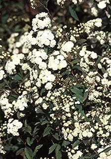Reeves (Bridal Wreath) Spiraea