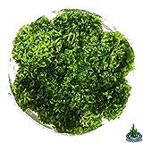 Greenpro Riccia Fluitans Crystalwort Tissue Culture Freshwater Live Aquarium Plants Java Moss