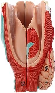 Scicalife Anatomisk Näshåll Hals Anatomi Medicinsk Modell Avtagbar Simulation Throat Modell För Science Classroom Studie D...