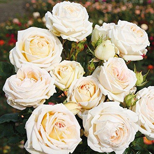 Parfuma Madame Anisette Edelrose, creme mit aprikot hauch, 12 x 12 x 40 cm