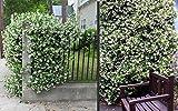 Trachelospermum jasminoides Sternjasmin 75 cm +/- -