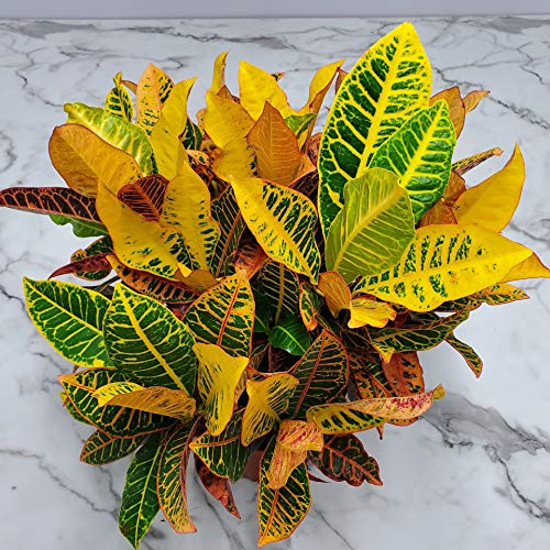 Product Image 4: Croton Petra Plant – Tropical Foliage Plant Live – 3 Gallon Pot – Overall Height 20″ to 24″ – Tropical Plants of Florida (Plant Only)