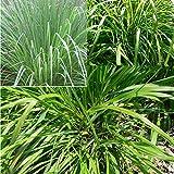 Rosepoem En direct 100pcs bio Citronnelle plantes Graines de plantes pour éloigner les moustiques