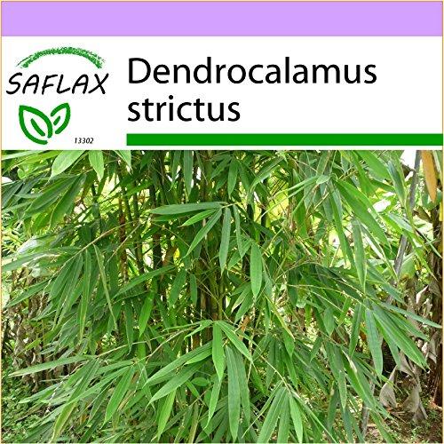 SAFLAX - Gräser-Bambus-Kalkuttabambus - 50 Samen - Dendrocalamus strictus
