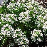DAYUAN Raras Semillas de Hierba,5 Semillas de Flores Susan de Ojos Negros, Semillas de Flores de Cuatro Estaciones, Plantas de Vid fáciles de Plantar, Amarillas,Semillas de macetas de Flores