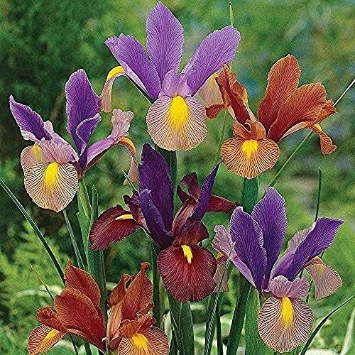 5 Stücke Iris Zwiebeln Gemischte Farbe Bouquet Unverzichtbare Blume Im Hof Buntes Starkes Aroma Werden Sie Ihr Hausgarten Große Dekoration Einstiegsvielfalt