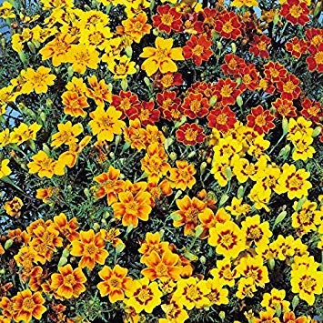 Shop Meeko Kings Seeds - Tagetes Starfire - 225 graines