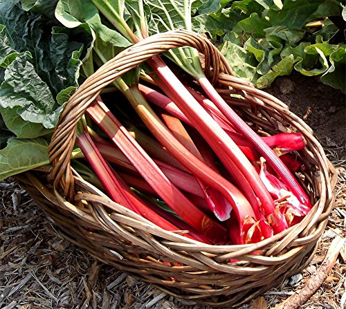Seeds Rhubarb Leader Vegetable Perennial Herb for Planting Heirloom Non GMO