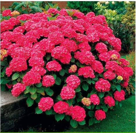 Tomasa Samenhaus- 30 Stück Riesen Hortensie Blumensamen,Kugelblumen Blüten mehrjährig winterhart Gartenhortensien Erdbeer-Hortensien am Straßenrand,Garten (Farbe 4)