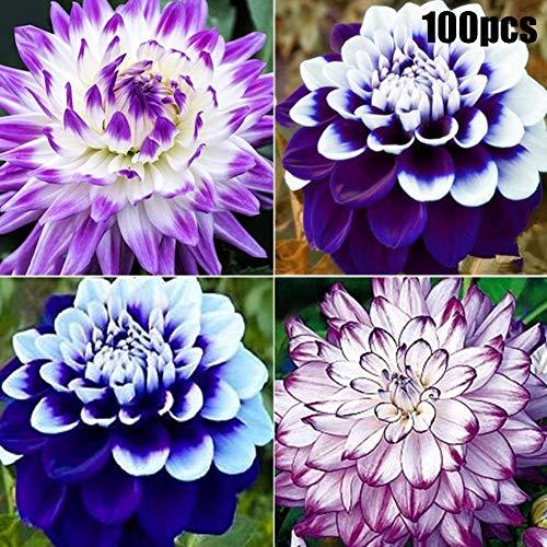 20Pcs Mix Dahlia Blumensamen Große Bonsai Pflanze Mehrjährige Pflanze Atember