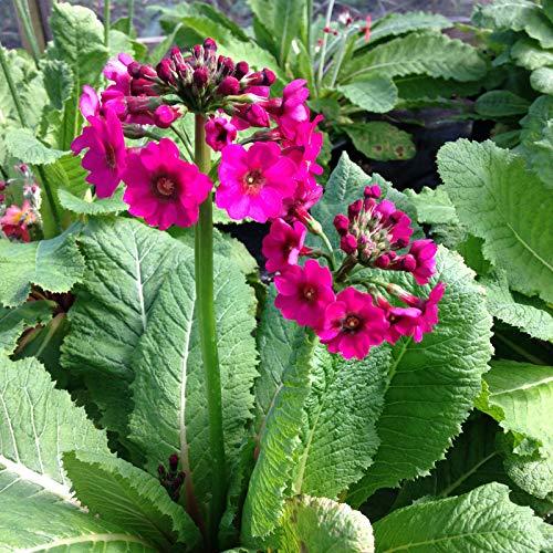 Portal Cool Primula Colección 3 por £ 10.0.00 Tapones no, Plantas Co