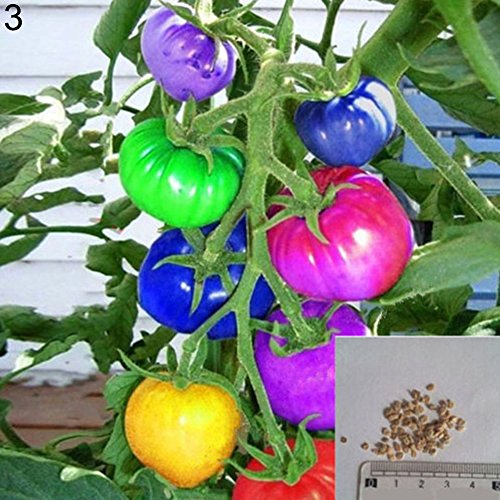 BrawljRORty Farms Seeds 200Pcs Rainbow Tomato Seeds Garden Delicious Fruit Vegetable Plant Home Decor for Garden Balcony/Patio - Rainbow